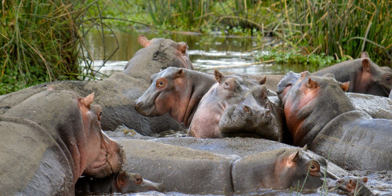 https://awesafari.com/wp-content/uploads/2018/09/tanzania-watching-active-hippos-1280x640.jpg