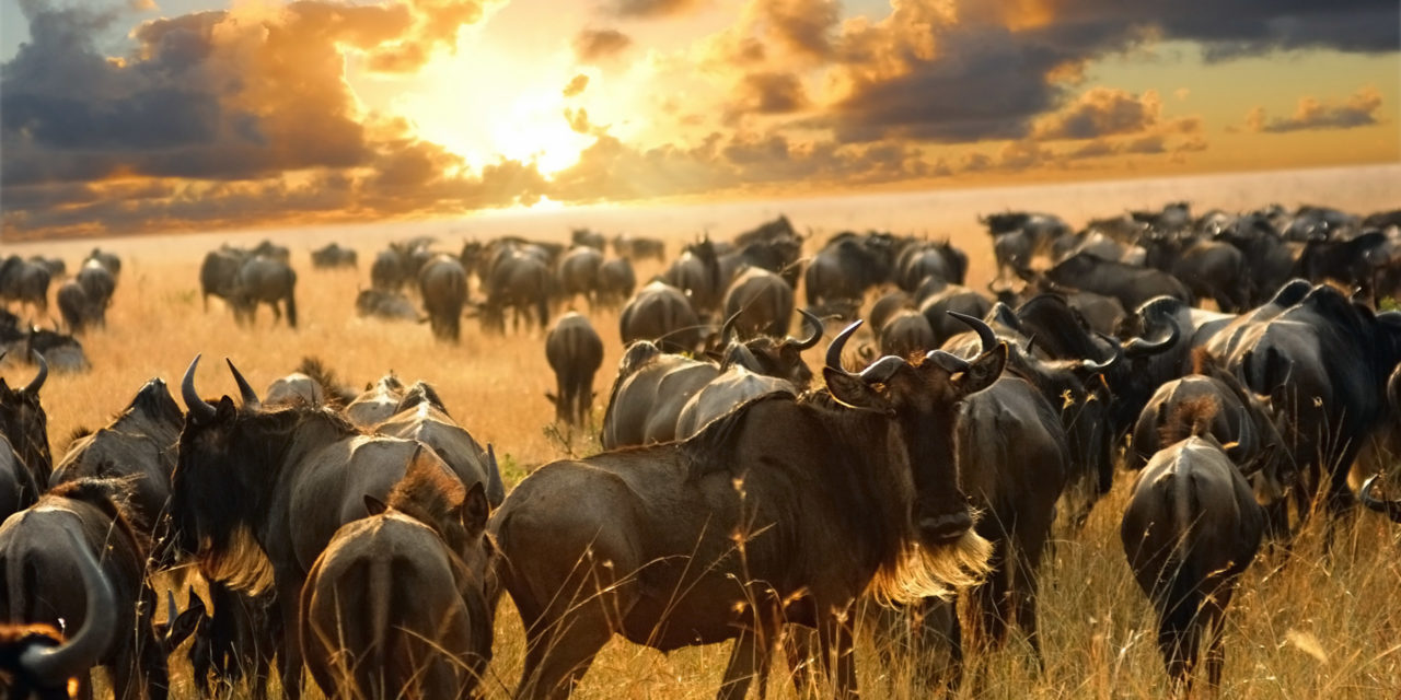 https://awesafari.com/wp-content/uploads/2018/09/wildebeest_dreamstime_xl_17312474-1280x640.jpg