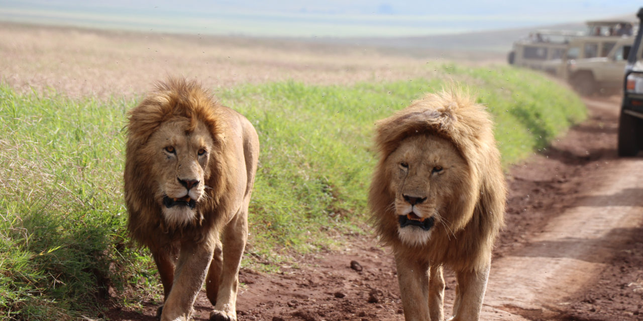 https://awesafari.com/wp-content/uploads/2020/02/awesome-lion-1280x640.jpg